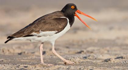 birding eastern shore